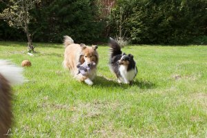 Topperteam collies